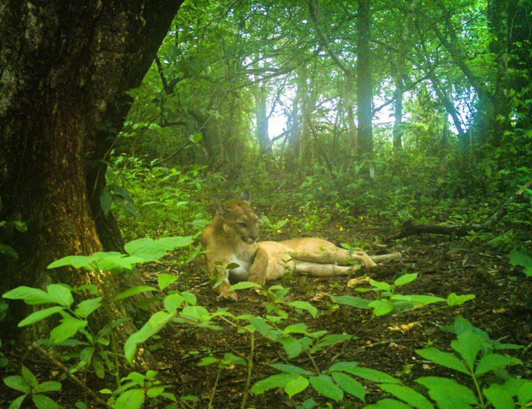 Puma - Corocora Wildlife Camp in Colombia