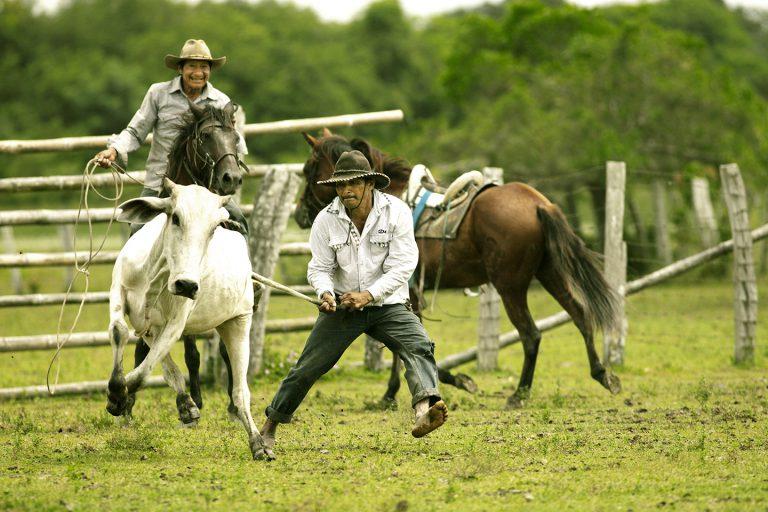 Cattle Herding - Corocora Wildlife Camp